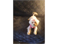 Maltese female puppy Loves everyone she meets and she loves kids 5 months old She has her vacc