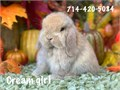 8 week old Holland lop baby bunnies  very sweet dwarf breed only 3 12 lbs full grown handled dail