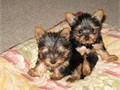 text us on 240-257-8923 Teacup Yorkie Puppies For SaleMy puppies are all potty trained and very fri