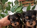 Yorkie puppies for adoption these tiny puppies are ton of fun in a small packag