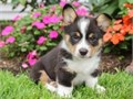 lovel Wesly Corgi puppies male-female first shots dewormedThey come with their health records and