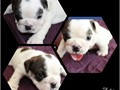 5 week old English  bulldogs for sale I have 6 females and 2 males Please call for details and mo