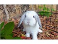 We have purebred Holland Lop baby bunnies These bunnies are currently between 10-11 weeks old