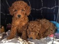Healthy Poodle PuppiesSo gentle and affectionate we have 4 left This is a gr