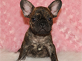 This beautiful mini size brindle french bulldog was born on 70617 His regstered with AKC and his