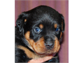 Rottweiler puppies for sale 6 males 3 females excellent markings all black with mahogany marking