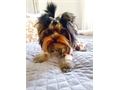 Micro size yorkie girl is looking for her new home Ruca is 9 months old and only weighed 14 lbs s
