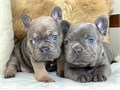 Akc French bulldog puppies Males and females available Now accepting deposits