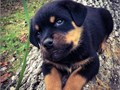 We have gorgeous AKC-registered Rottweiler pups for sale These dogs are family raised and paper tr