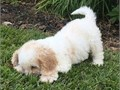 Delmar CavachonKindly Text us at 619 728-3160  for more details and pics tha
