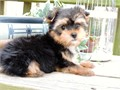 Home Trained T-Cup Yorkie pups for adoption These dogs are family raised and paper trained text---