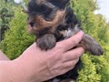 Breeder  teacup YorkieAge 9weeks Potty and crate trained Vet checked AKC registered S