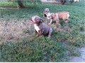 English Bulldog AKC Lilak tri stud service only I will go any where to get your female pregnant