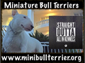 Top Quality Miniature Bull Terriers Sold as PETS NO EXCEPTIONS starting at 2500 eachSerious Bu