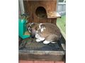 Two male Mini Lop rabbits two years old one brown one broken color kept outdoors in hutches 20