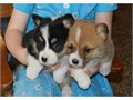 AKC Male and female Pembroke Welsh Corgi Puppies We have only three males left 10 week old Pembr