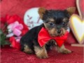 The Yorkie Puppies are confident and friendly little dogs That said many dramatically under-social