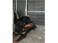 Adult male Rottweiler 3 years  Tail and declawed doneGood Stud  produced really nice puppies  He