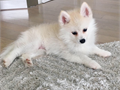POMSKY PUPPIES FOR SALE THESE PUPPIES ARE ADORABLE THEY HAVE GREAT PERSONALITY YOU WILL FALL IN LOVE