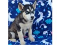 Siberian Husky Puppies amazing two cute babies ready for new forever home and ready nowTEXT805 33