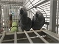Adorable African grey parrot ready to go into their new and loving home They are hand raised and br