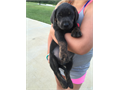 Labrador Retriever puppy available Charcoal color with rare brindle markings She is 85000 and co