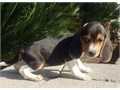 Lovely beagle puppies for sale All of my puppies have their 1st health check Text me at 773-943-33