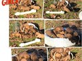 AKC Registered Bloodhound Puppies Ready for adoption Jan 23 Facebook page Graceful Bloodhoundstak