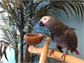 2-3 year old african grey congo in perfect feathering and health semi-tame does
