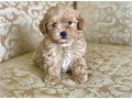 TINY MALTIPOO PUPPY FOR SALE PUPPIES FOR SALE WE HAVE  MALE AND FEMALE AVAILABLE NOW  9 WEEKS OLD
