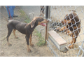 Dobe pups available now Full  AKC registered Red  Rust male  female  Great disposition  Will b