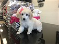 Poodle Female available have shots and deworming up to date clean healthy puppy Vet checked com