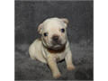 French Bulldog Male Female  90000 Youre welcome to Littlestars French bulldog puppies call f