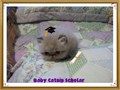 Teacup Mini  Regular Size Persian KittensFlat  Doll Face Males  FemalesColors Snowball Whit