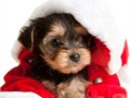 We have available one male and two female teac cup yorkies all are purebreed dogs and home raised pl