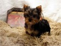 2 adorable yorkie puppies looking for a good home 500 each  purebred no pape