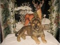 Purebred German Shepherd Pup Working Line CKC Register Only500 AKC Registration Papers is