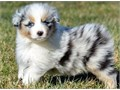 Akc Australian Shepherd PupsMFs10wks Shots UTD with papersFor instant feedback Text or call 510