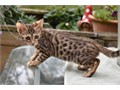 Bengal Male Female  50000 Call or Text 385 988-0219 for more infos