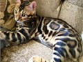 Bengal kittens 8 weeks old SBT tica registered male  female available 1550 to 2400 call for mor