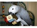 African Grey Parrot for sale we have had him for the last 12 years but my mums asthma is getting w