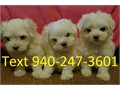 HAVE A CUTE LITTER OF ALL WHITE MALTESE ONE GIRL AND TWO MALES THEY ARE VERY SMALL ONLY WEIGHT 1 1