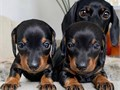 Pickup your dachshund puppies text 601-653-9010 and mark the puppies off market if you are intereste