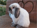 HOLLYWOOD RABBITS HAS MANY SABLE POINT Holllans lopsthey all come with pedigree starter kit