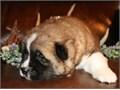 Deem Akita Pups Contact 831 318-7674 for recent pics
