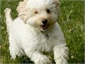 Hello Were hoping to find a mate for our adorable malshi Zigzag He is a smallmedium sized dog w