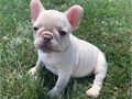 Super adorable French Bulldog puppies So gentle and affectionate I have one