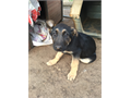 Purebred German Shepherd Puppies CKC Registered Vaccinated Dewormed 11 weeks old Black and Ta