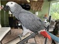 Funny African grey parrots available they are very playful and friendly with childrenTextCall a