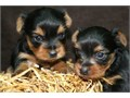 Cute Teacup Yorkie PuppiesTeacup Yorkie Puppies For SaleMy puppies are all potty trained and very